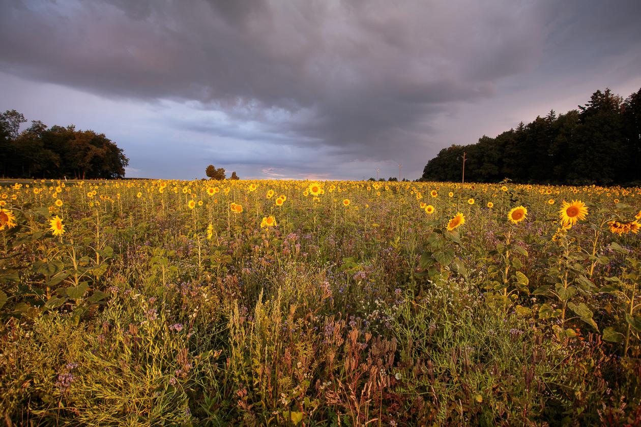 Sonneblumen I