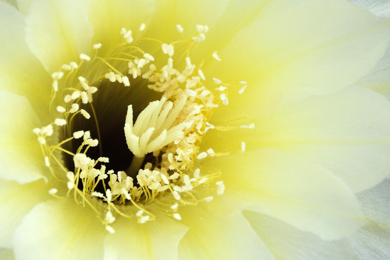 Kakteen Blüten