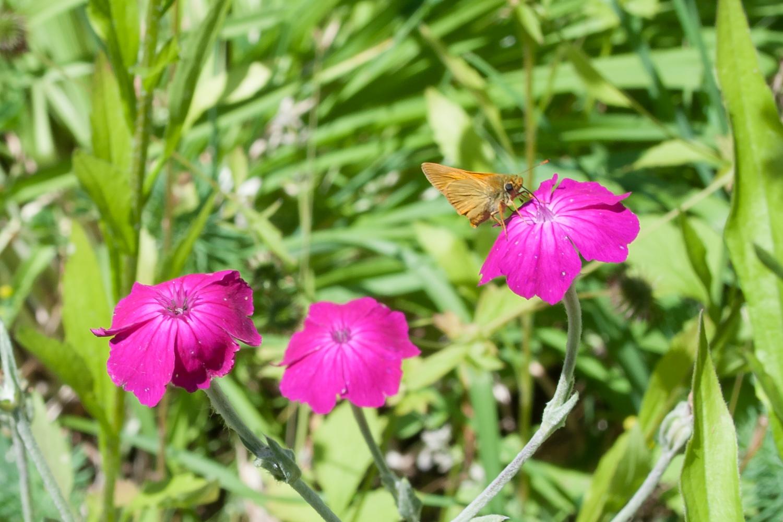 Dickkopffalterauf Samtnelke Blüten