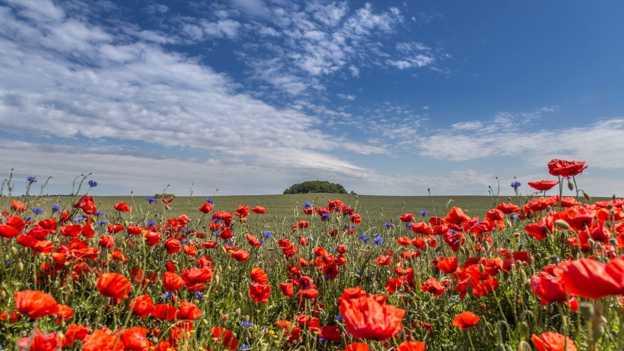 Mohnblumenfeld auf Rügen_2
