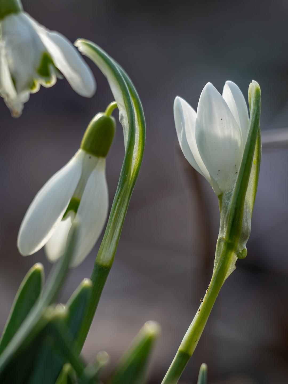 Frühlingsbote Foto: Sabine Wohlbold